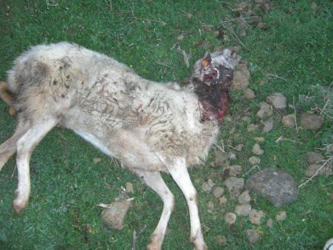 oveja de raza palmera, muerta 1