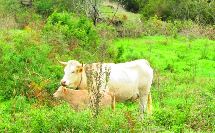 Vaca de raza palmera.